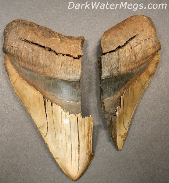 The Megalodon Tooth Pictures And Photos - Misti Org