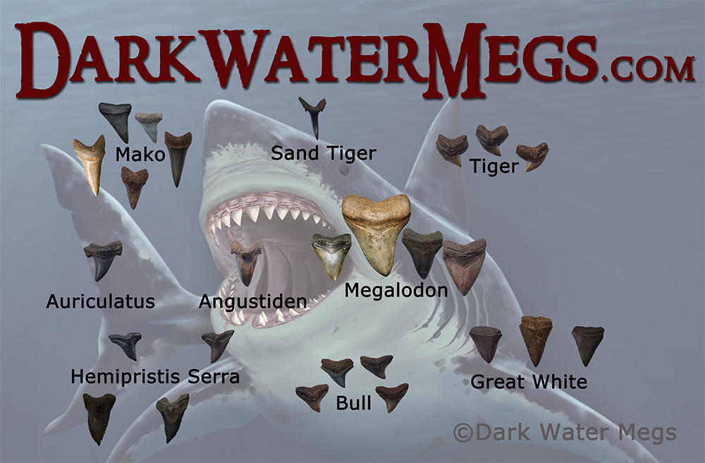 Dark Water Megs Megalodon Teeth For Sale