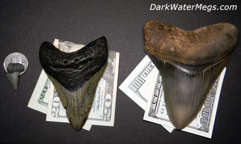 Much Megalodon Tooth Worth Dark Water Megs