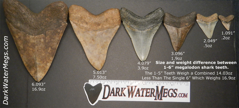 How much is a megalodon tooth worth? - Dark Water Megs