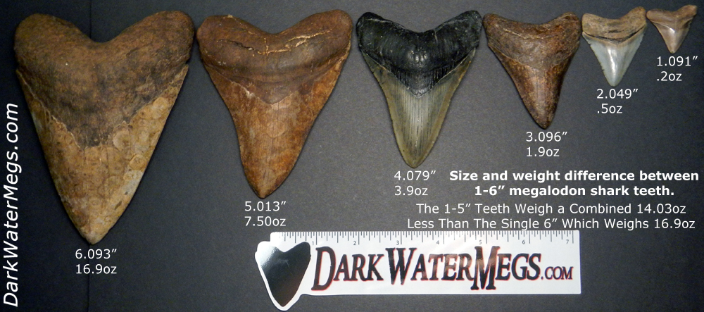Megalodon Shark Tooth Fossil 5 to 5 1//2 Inches Millions of years Old