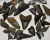 Many Megalodon Teeth For Sale Are Broken